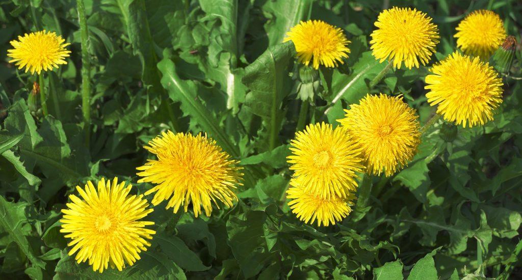 Dandelions in Minnesota Lawn